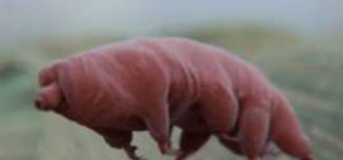 Le tardigrade, cet animal quasi indestructible, est-il la clé de l'immortalité?
