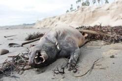 Une étrange créature découverte sur une plage de Santa Barbara