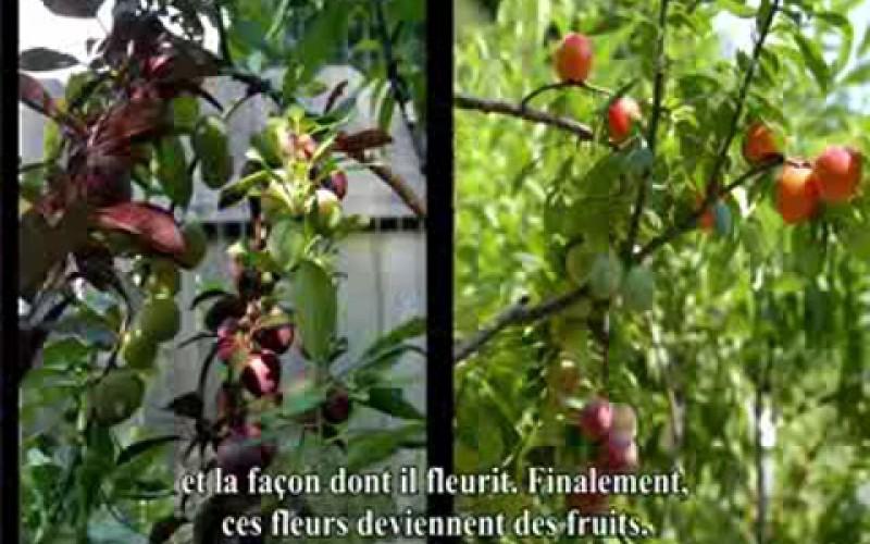 Un arbre greffé capable de produire 40 variétés de fruits différentes