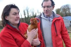 Mystère. Leurs poules ont du réseau mais ne pondent plus !