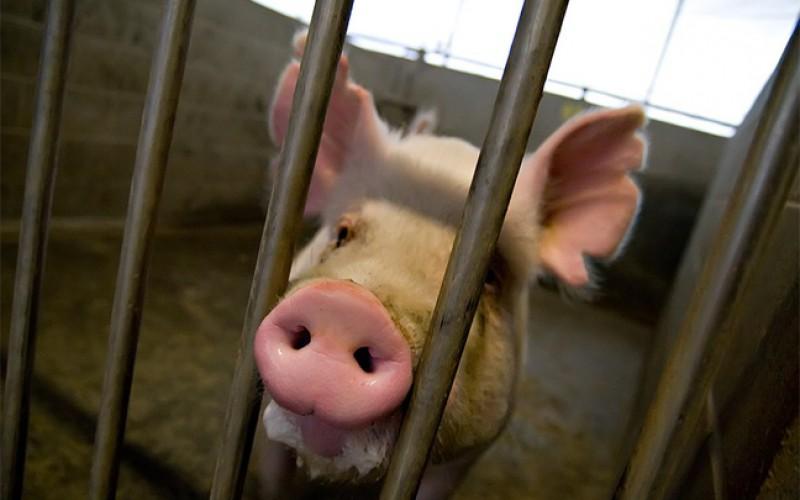 Des scientifiques font des recherches sur des chimères cochon-humain