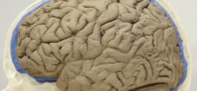 Le mystère de la formation des plis et replis de notre cerveau résolu