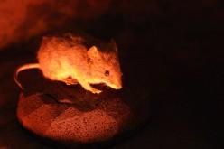 Incroyable, mais vrai: des biologistes rendent transparente une souris