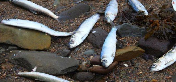 Un mystère entoure la mort de milliers de harengs