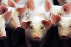 Des porcs génétiquement modifiés pour donner leurs organes aux hommes