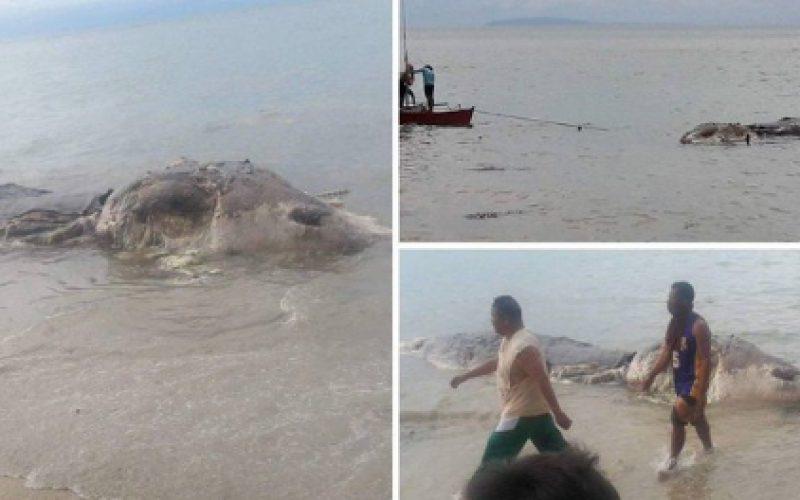 Une créature marine géante échoue sur une plage des Philippines